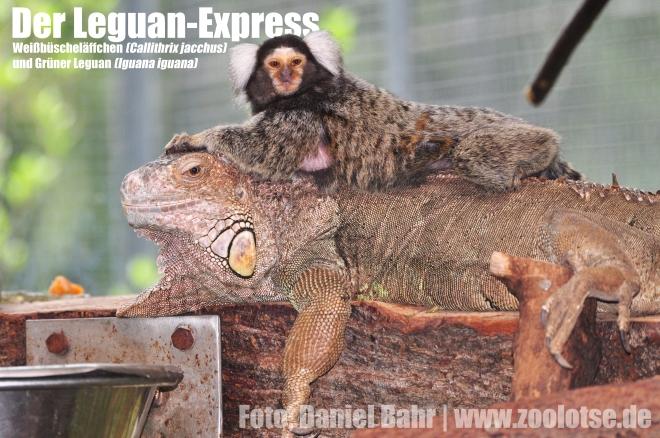 Unterwegs auf dem Leguan-Express: Ein Weißbüscheläffchen reitet auf einem Grünen Leguan im Tiergarten Straubing.